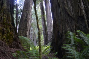 redwoods_california_natalie_sitko_peterson_tyrell_peterson_tyandnat_travel